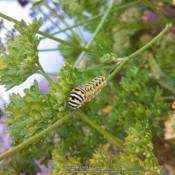 Location: MarylandDate: Black Swallowtail caterpillar munching on parsley.