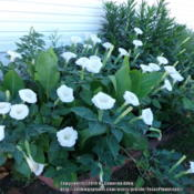 Location: Plano, TXDate: 2014-08-12Two large datura bushes