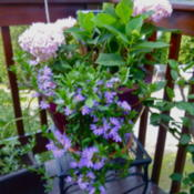 Location: My Garden- VermontDate: 2014-08-13Mountain Deck Planter with hydrangeas
