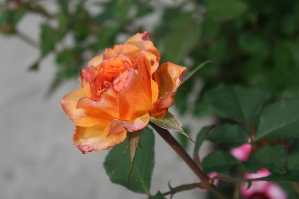 Photo of Roses (Rosa) uploaded by Daylilybaby