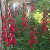 Location: Medina, TNDate: August 2014Lobelia cardinalis in full bloom.