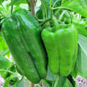 Location: My GardensDate: August 13, 2014Huge Peppers: Very Productive!