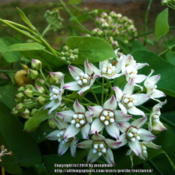 Location: Fielder House larval garden.Date: 2014-08-15Flowers have a lovely scent.