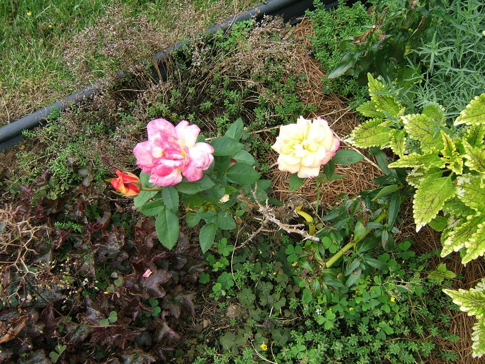 Photo of Rose (Rosa 'Sheila's Perfume') uploaded by pirl