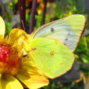Location: central IllinoisDate: 2014-08-14BF is an Orange Sulphur alba form