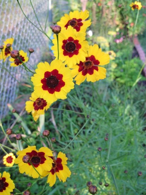 Photo of Plains Coreopsis (Coreopsis tinctoria) uploaded by kylaluaz
