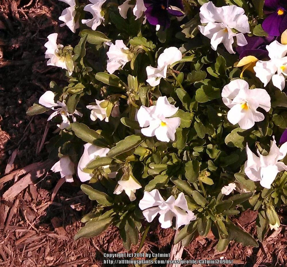 Photo of Violet (Viola cornuta Penny™ White) uploaded by Catmint20906