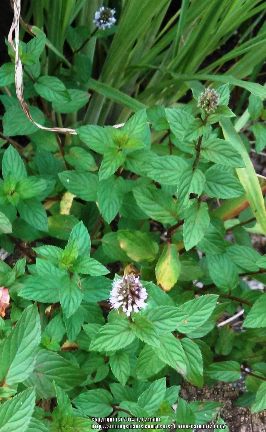 Photo of Chocolate Mint (Mentha x piperita 'Chocolate') uploaded by Catmint20906