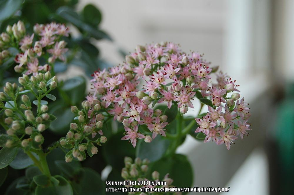 Photo of Stonecrop (Hylotelephium SunSparkler® Lime Zinger) uploaded by valleylynn