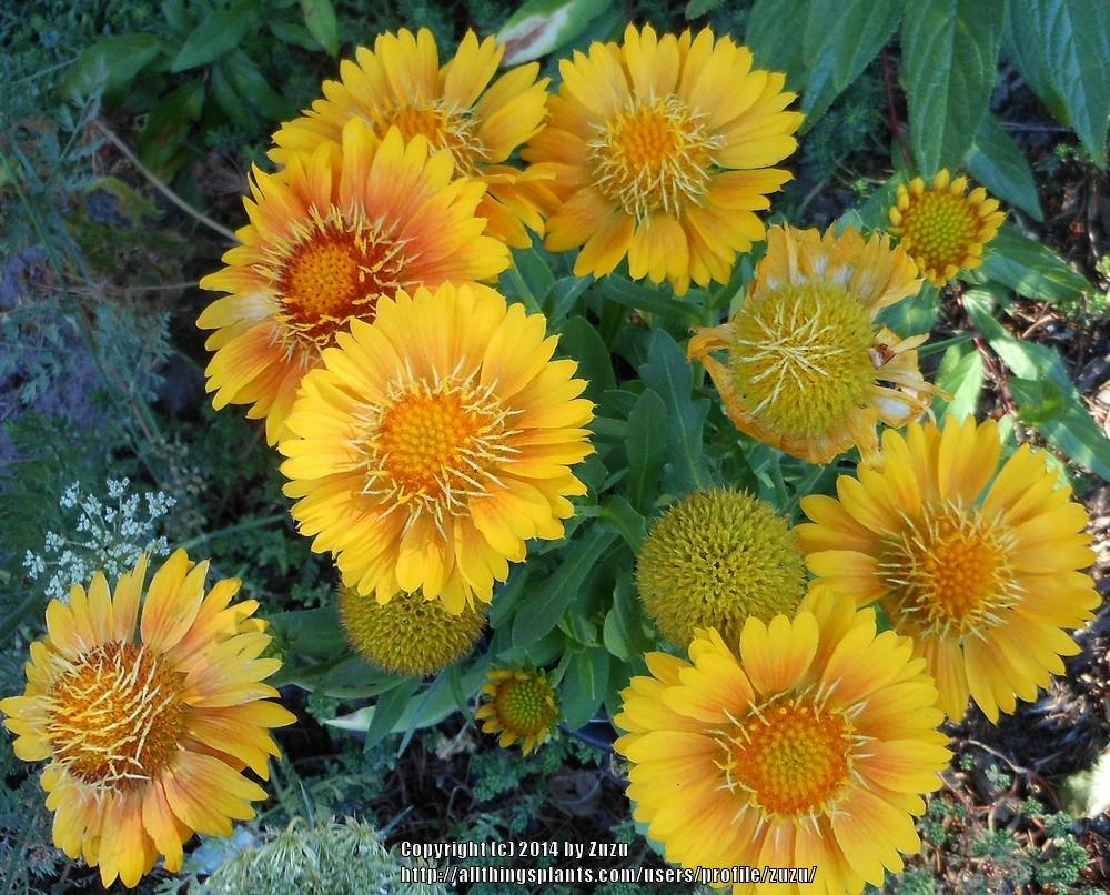 Photo of Blanket Flower (Gaillardia 'Arizona Apricot') uploaded by zuzu