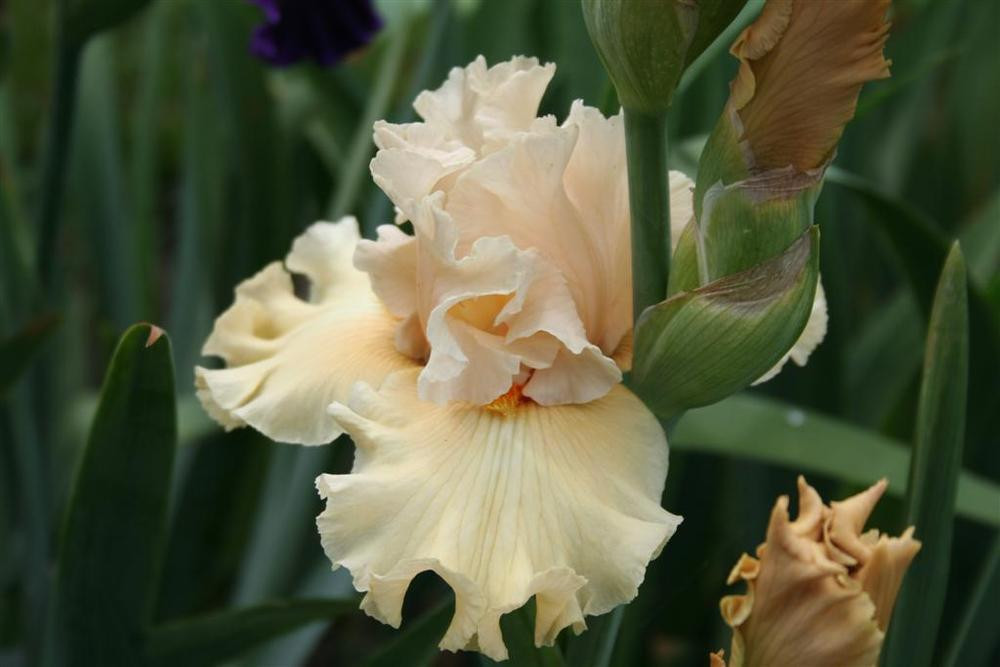 Photo of Tall Bearded Iris (Iris 'Comes the Dawn') uploaded by KentPfeiffer