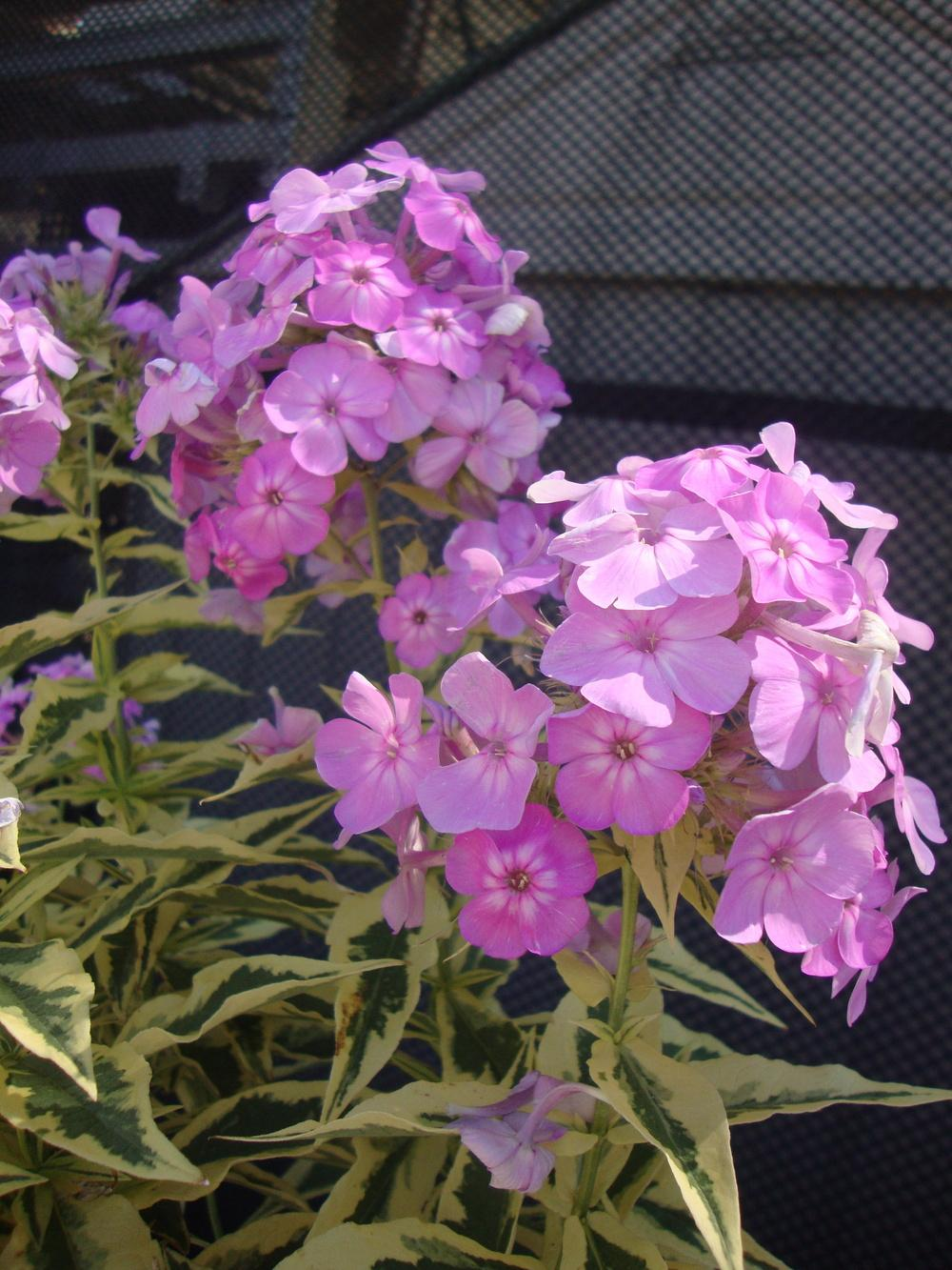 Photo of Tall Garden Phlox (Phlox paniculata 'Shockwave') uploaded by Paul2032