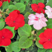 Location: My GardensDate: August 18, 2014Tempo Salsa Mix red & pink blooms