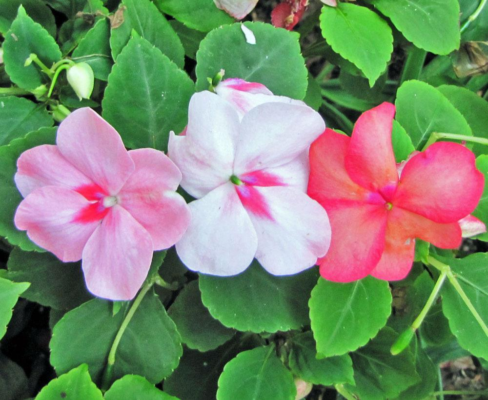 Photo of Busy Lizzy (Impatiens walleriana 'Tempo Salsa Mix') uploaded by TBGDN