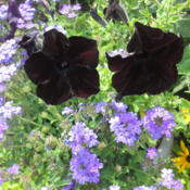 Location: Home Garden..Date: 2014-08-10Paired these blackberry petunias with a light purple ve