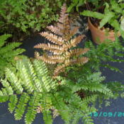 Location: Buffalo, NYDate: 2013-09-19the Mahogany Fern is very easy to grow and tolerates ou