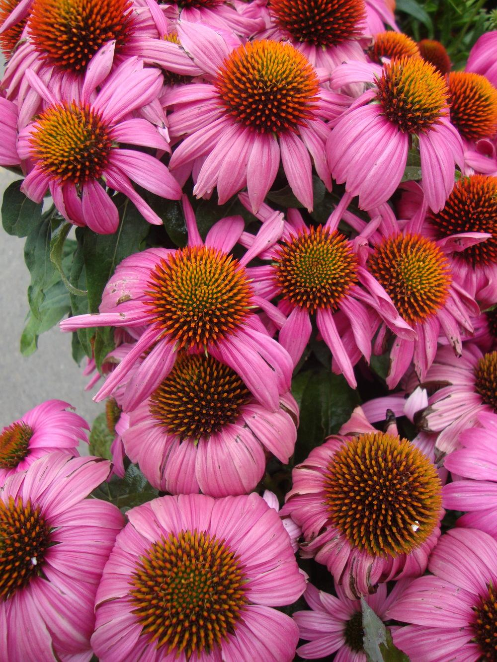 Photo of Coneflower (Echinacea purpurea PowWow® Wild Berry) uploaded by Paul2032