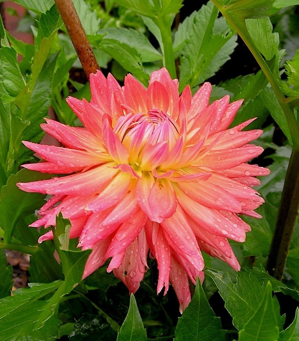 Photo of Dahlia 'Apricot Brandy' uploaded by mandolls