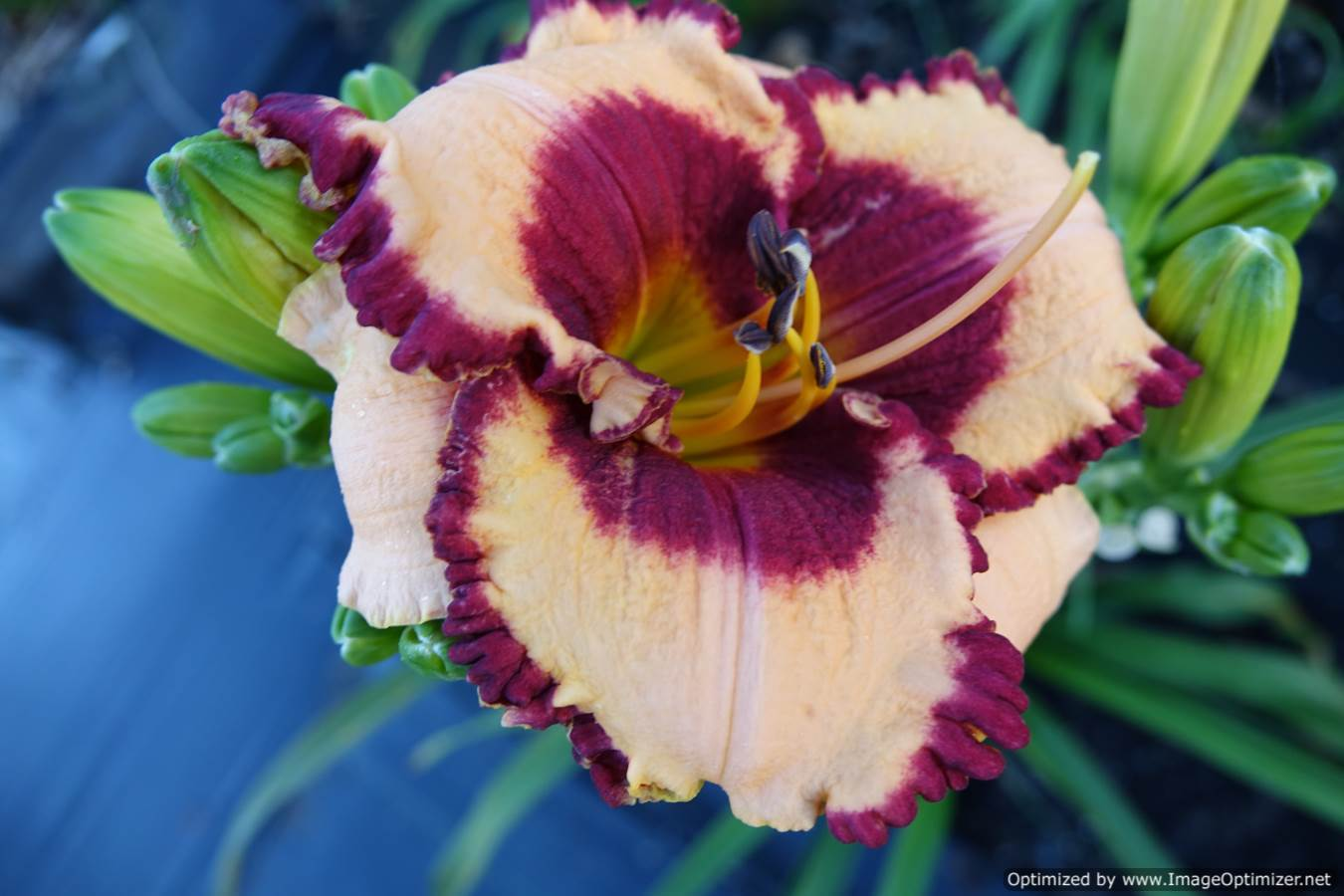 Photo of Daylily (Hemerocallis 'Everything Nice and Neat') uploaded by Calif_Sue