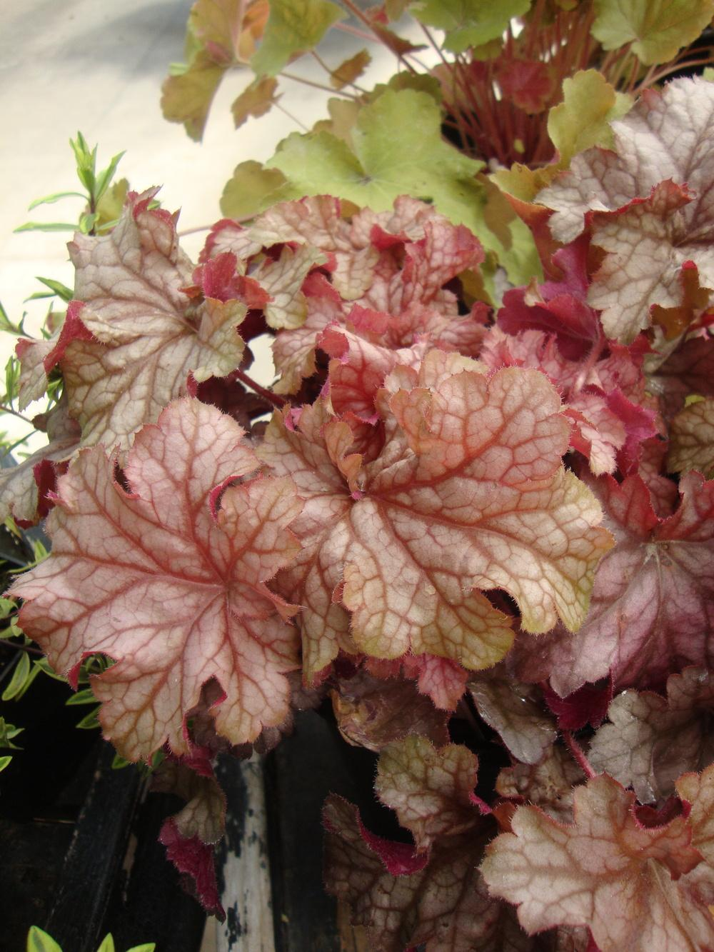 Photo of Coral Bells (Heuchera 'Carnival Peach Parfait') uploaded by Paul2032