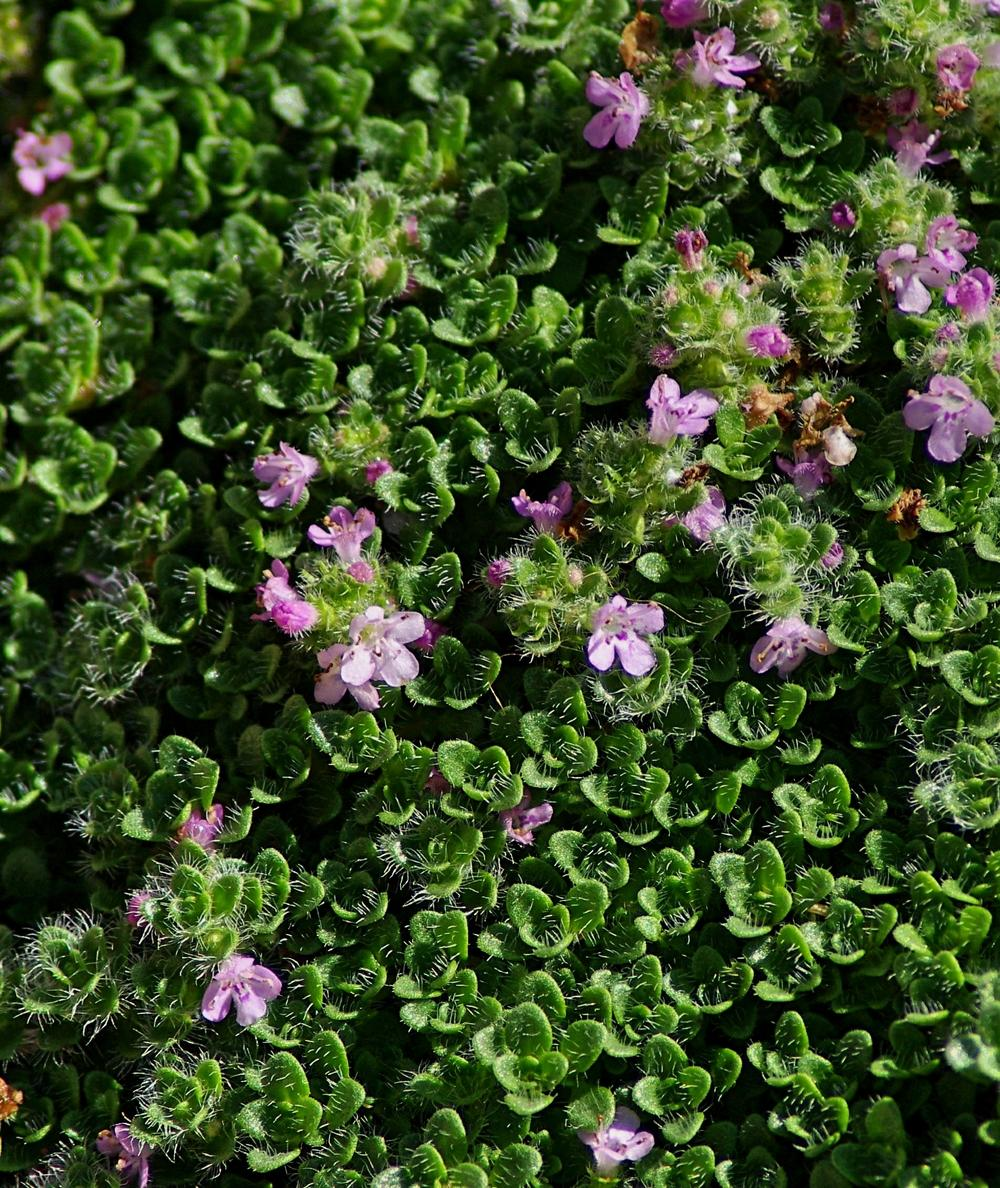 Photo of Elfin Thyme (Thymus serpyllum 'Elfin') uploaded by dirtdorphins