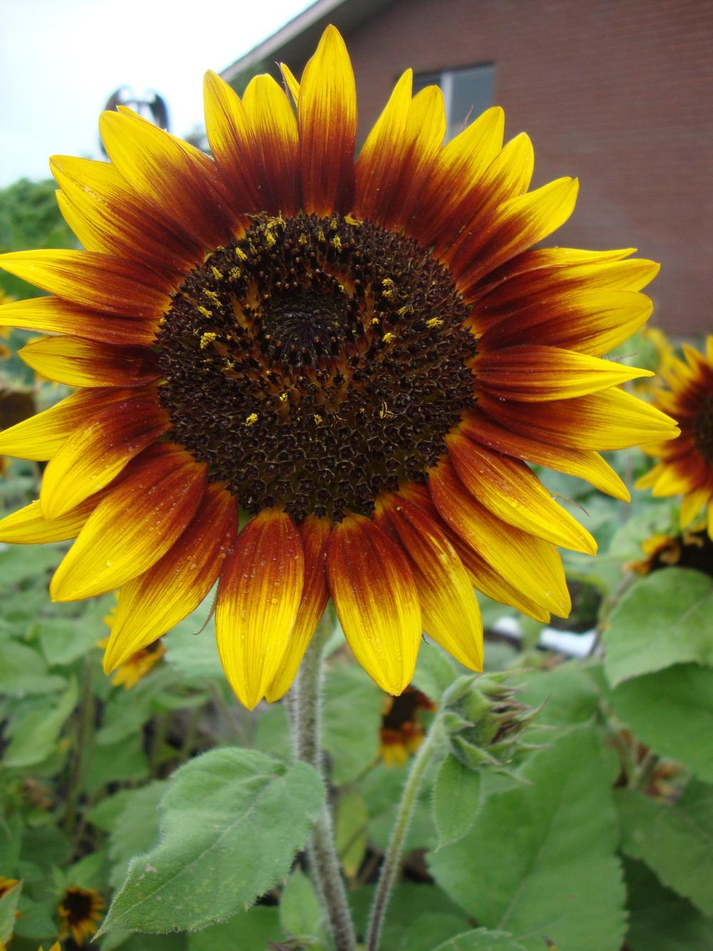 Photo of Sunflower (Helianthus) uploaded by Paul2032