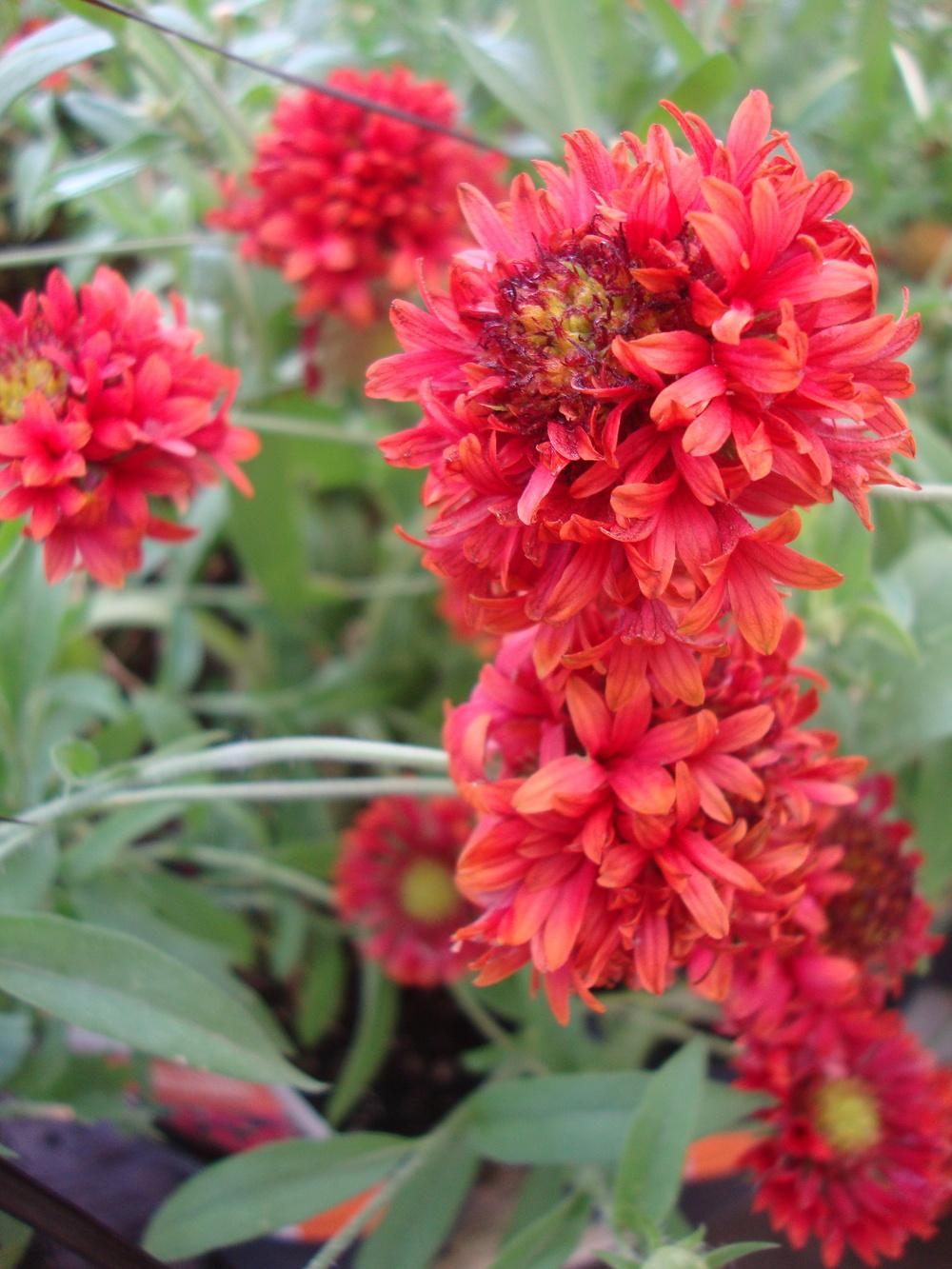 Photo of Blanket Flower (Gaillardia 'Galya Red Spark') uploaded by Paul2032