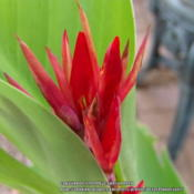 Location: Plano, TXDate: 2014-08-20Another bloom on a canna seedling
