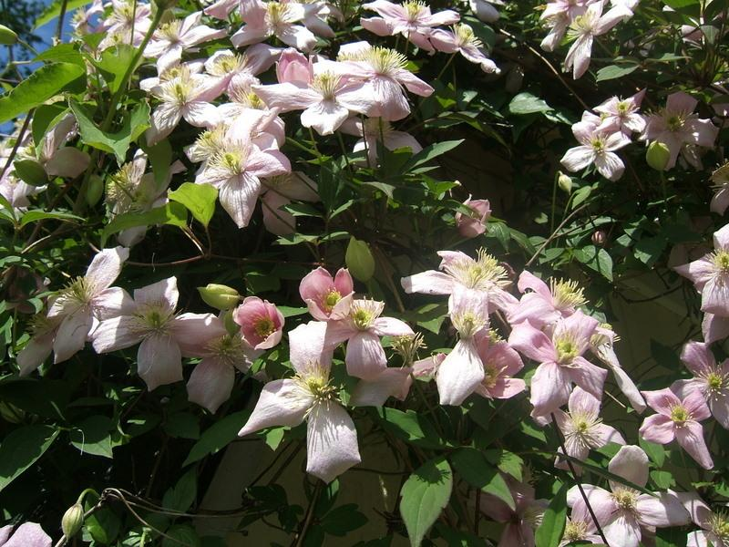 Photo of Clematis (Clematis montana 'Mayleen') uploaded by pirl