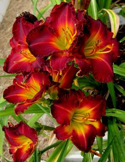 Photo of Daylily (Hemerocallis 'Queensland Red') uploaded by Gleni
