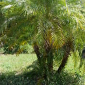 Location: my garden, Sarasota FLDate: 2014-08-22This clump is at the end of our driveway, and needs the