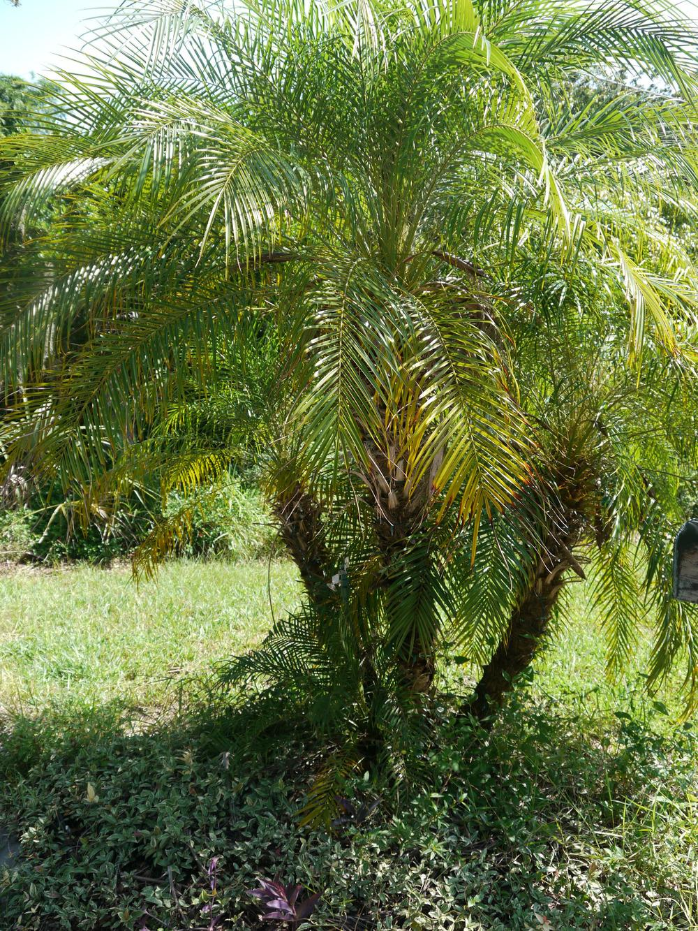 Photo of Pygmy Date Palm (Phoenix roebelenii) uploaded by dyzzypyxxy