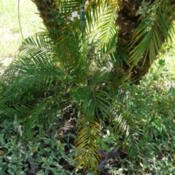 Location: my garden, Sarasota FLDate: 2014-08-22New palm 'pup' at the base of a three-stem clump