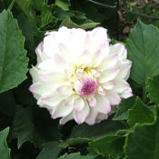 Location: The ParkDate: 2014-08-21First bloom of 2014 or this dahlia.