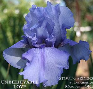 Photo of Tall Bearded Iris (Iris 'Unbelievable Love') uploaded by Calif_Sue