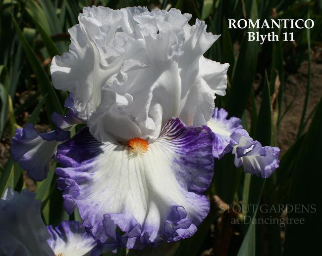 Photo of Tall Bearded Iris (Iris 'Romantico') uploaded by Calif_Sue