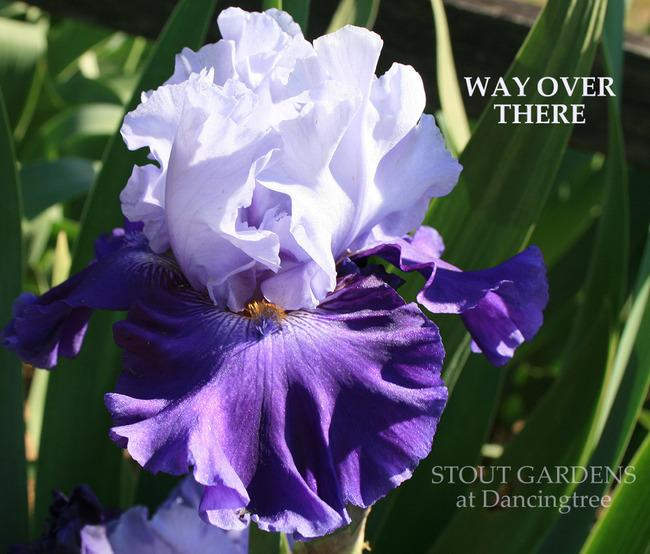 Photo of Tall Bearded Iris (Iris 'Way over There') uploaded by Calif_Sue