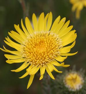 Photo of Hairy Gumweed (Grindelia hirsutula) uploaded by Calif_Sue