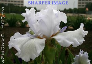 Photo of Tall Bearded Iris (Iris 'Sharper Image') uploaded by Calif_Sue