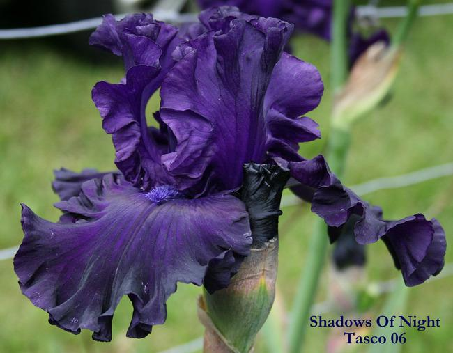 Photo of Tall Bearded Iris (Iris 'Shadows of Night') uploaded by Calif_Sue