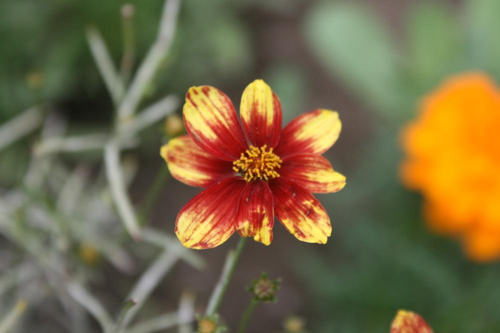 Photo of Tickseeds (Coreopsis) uploaded by Daylilybaby