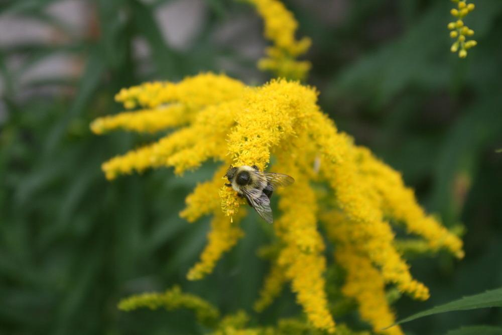 Photo of Giant Goldenrod (Solidago gigantea) uploaded by Daylilybaby