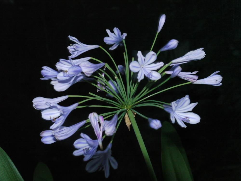 Photo of Lily of the Nile (Agapanthus africanus) uploaded by dyzzypyxxy
