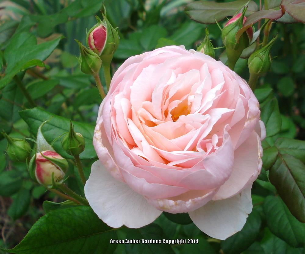 Photo of Rose (Rosa 'Heritage') uploaded by lovemyhouse