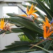 Location: New york, NYDate: 2013-10-25Bronx bot garden conservatory, strelitzia reginae bloom