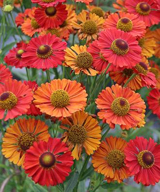 Photo of Helen's Flower (Helenium autumnale) uploaded by Calif_Sue
