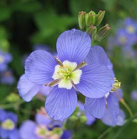 Photo of False Blue Flax (Heliophila coronopifolia) uploaded by Calif_Sue