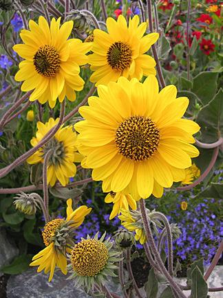 Photo of Downy Sunflower (Helianthus mollis) uploaded by Calif_Sue