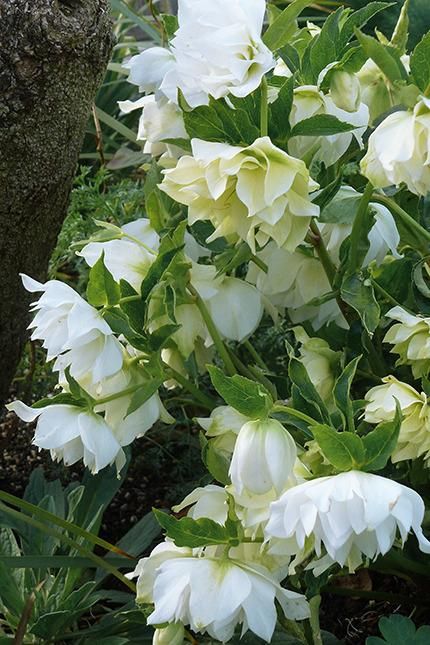 Photo of Hellebore (Helleborus Winter Jewels™ Sparkling Diamond) uploaded by Calif_Sue