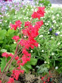 Photo of Coralbells (Heuchera sanguinea 'Sioux Falls') uploaded by Calif_Sue
